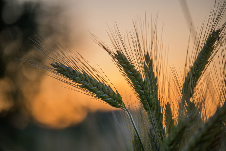 Plant Crop  Agriculture Cereal Plant Close-up Rural Scene Wheat Nature Sunset No People Landscape Growth Farm Beauty In Nature Sky Selective Focus Land Outdoors Field Ear Of Wheat