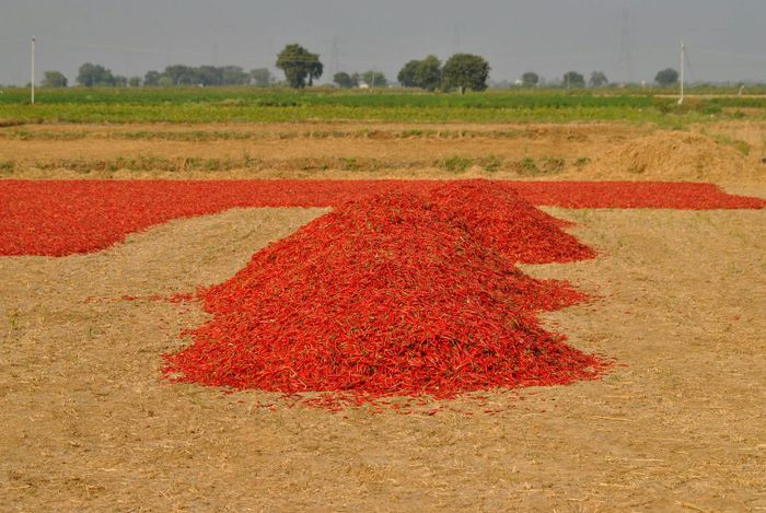 Red Growth Agriculture Rural Scene Beauty In Nature Field Nature Scenics Multi Colored Outdoors Day Landscape No People Sky Tree Freshness Chillies Red