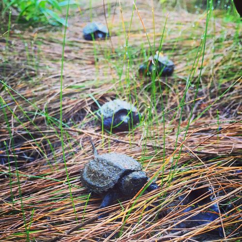 Turtles Turtleparade Babysnappers Swamp Life