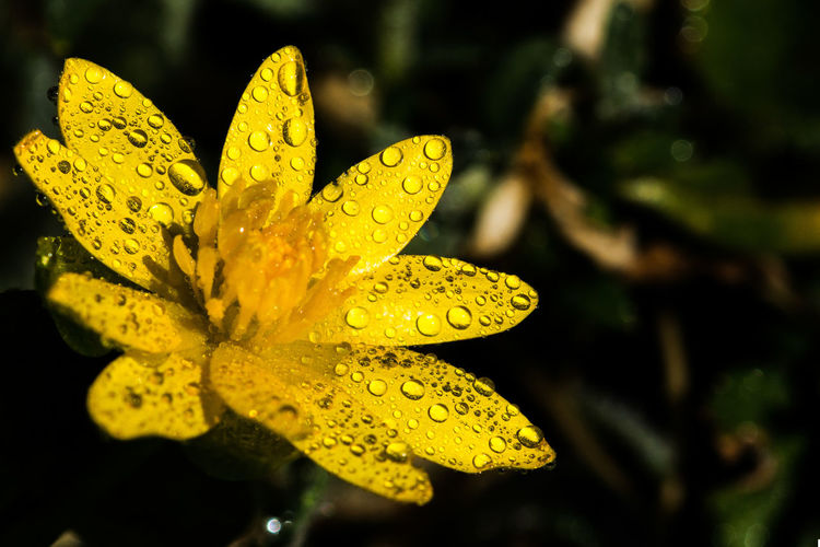 Close-up of raindrops on yellow flower