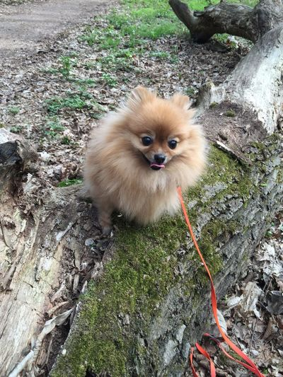 Pomeranian in the forest Forest EyeEmNewHere Pomeranian Cute Pomeranian Cute Pets Spitz Pomeranian Dog Nature Photography Ginger One Animal Mammal Domestic Vertebrate Pets High Angle View Domestic Animals Plant Looking At Camera No People Day Portrait Nature Pomeranian Land Feline Domestic Cat Field