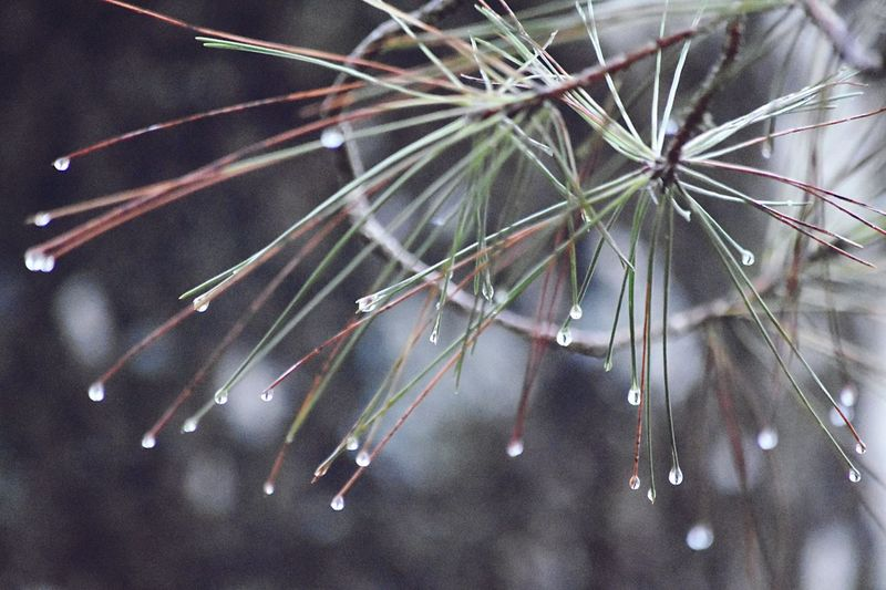 Nature Fragility Drop Focus On Foreground No People Outdoors Branch Beauty In Nature Close-up Day EyeEm Best Shots Let's Do It Chic! The Week On EyeEm EyeEmNewHere Exceptional Photographs Growth Pine Tree Tree Freshness