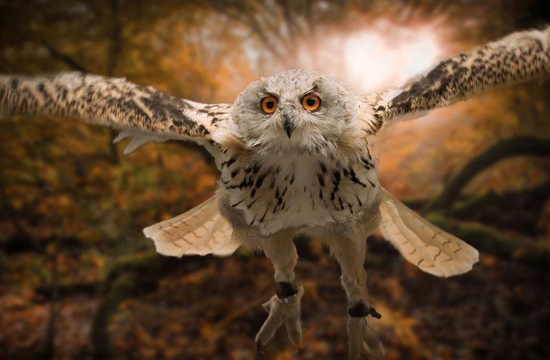 Close-up portrait of eagle flying