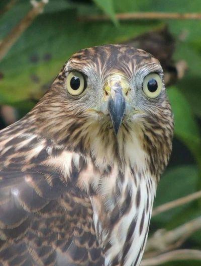 Hawk Juvenile Coopers Hawk Photography Bird Photography Birdwatching Birds Of EyeEm  Gorgeous Nature Nofilter Noedit
