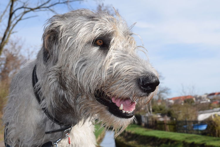 One Animal Animal Themes Domestic Animals Pets Focus On Foreground Close-up Mouth Open Outdoors Portrait Bokeh Spring 2017 March 2017 Sunlight Dog Of The Day Dogs Of EyeEm Dogwalk Dogs Of Spring Cearnaigh Irish Wolfhound Dogslife Animal Head  Looking At Camera Sky