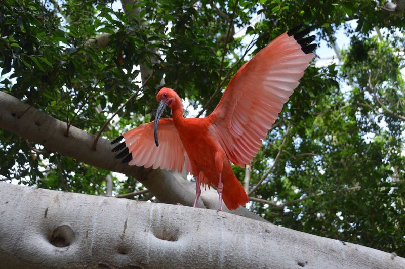 Bird Parrot Scarlet Macaw Spread Wings Tree Animal Body Part Feather  One Animal Red Animal Wildlife Macaw Animal Themes Low Angle View Perching Tail Nature Day Cockatoo Outdoors No People