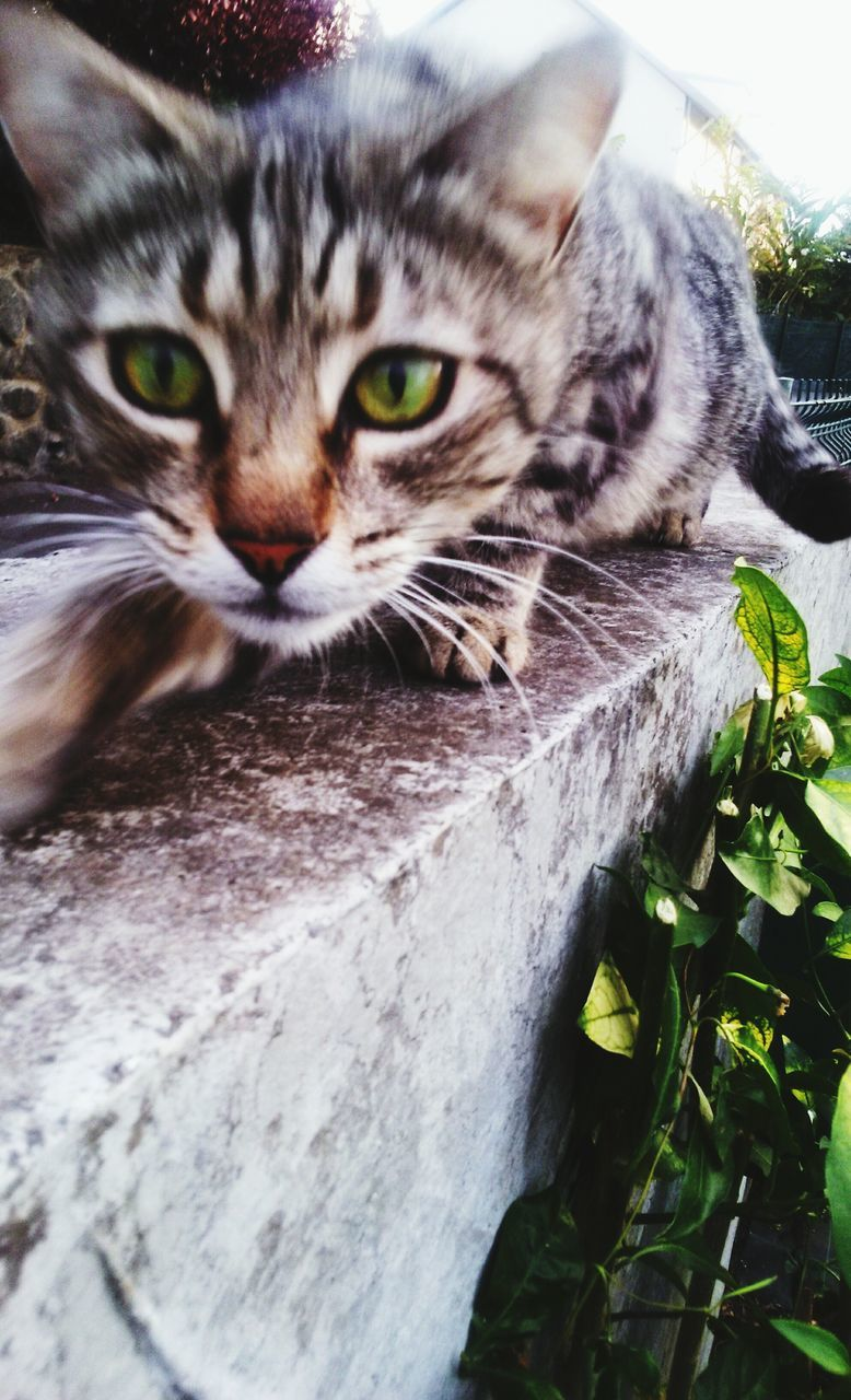domestic cat, animal themes, one animal, domestic animals, pets, mammal, feline, no people, looking at camera, whisker, portrait, day, outdoors, close-up, nature