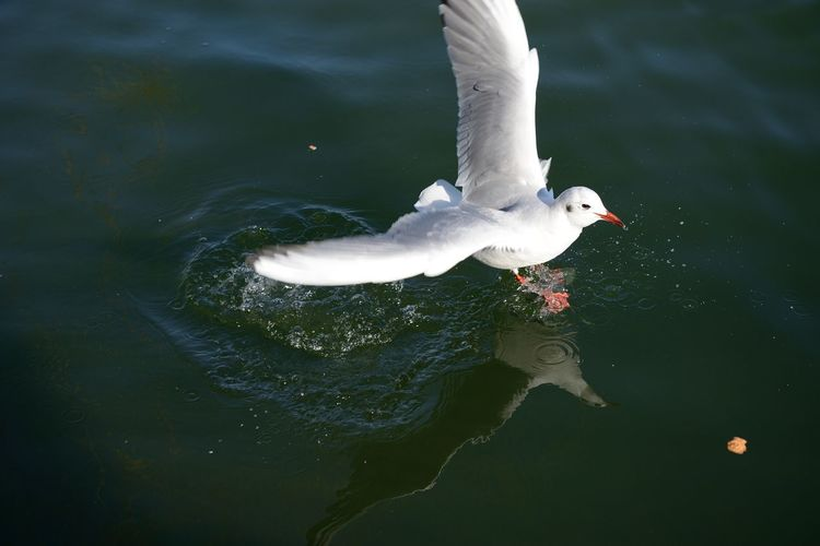 High angle view of seagull on water