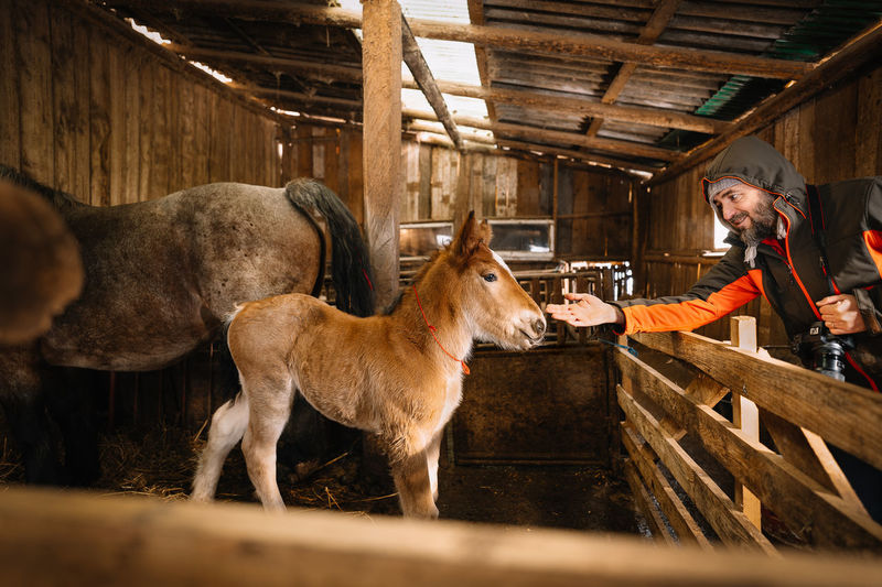 Man bonding with horse foal in stable