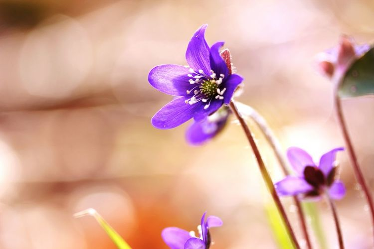 Blue Lilies Flower Purple In The Forest 🌳🌲🌾 Freshness Outdoors Fragility Nature Petal