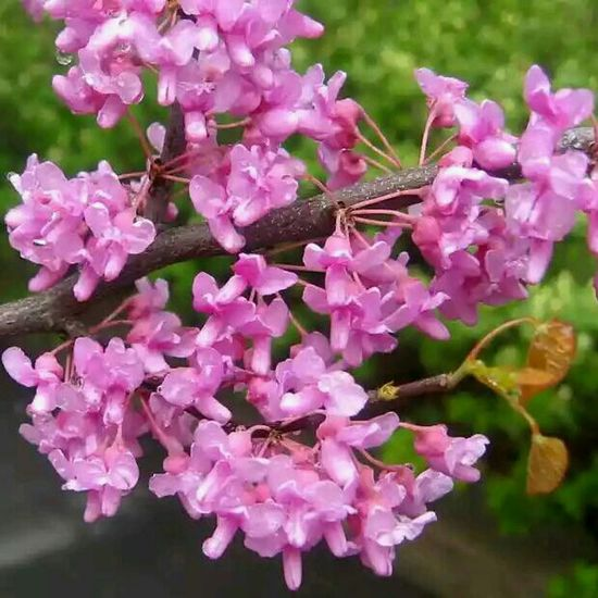 Erguvan / Judas Tree Erguvan Flower Flowers istanbul turkey