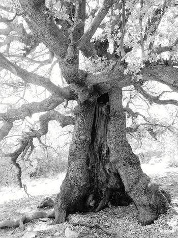 Holm Oak Beauty In Nature Tree Trunk Sardinia