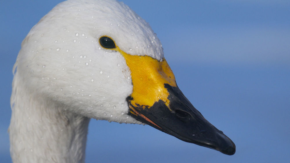 Bewick Swan WWT Slimbridge Animal Head  Animal Wildlife Animals In The Wild Beak Bird Birds Close-up Nature Outdoors Slimbridge Swan Water Bird