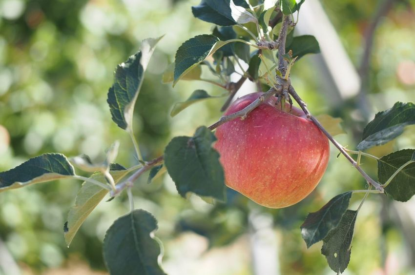 長野のりんご‼︎ Apple Close-up Red Green Color Nature Beauty In Nature Apple Tree Enjoying Life EyeEm Nature Lover EyeEm Best Shots Nagano