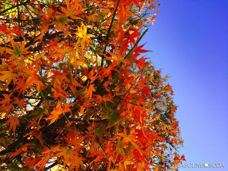 A blue sky and the Maple 紅葉 オトコの空 Japan Iphone6 Beautiful Autumn