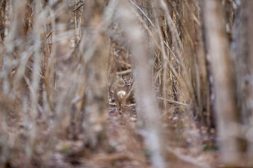 European Roe Deer Nature Animal Animal Themes Backgrounds Close-up Day Forest Full Frame Growth Land Nature No People Outdoors Plant Roe Deer Roe Deer Selective Focus Tranquility Tree Wildlife The Week On EyeEm Editor's Picks