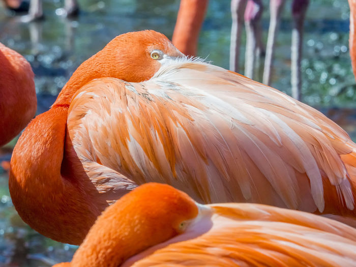 close up of a pink flamingo Animal Themes Animal Wildlife Animals In The Wild Beak Beauty In Nature Bird Close-up Day Flamingo Focus On Foreground Nature No People One Animal Orange Color Outdoors Water