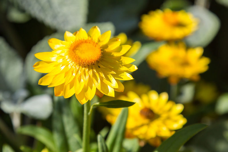 Yellow Strawflower Straw Flower Vivid Beauty In Nature Blooming Botany Close-up Day Flower Flower Head Fragility Freshness Golden Everlasting Growth Nature No People Outdoors Petal Plant Strawflower Yellow