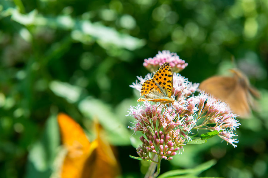 orange butterfly with dots - Argynnis paphia - on a thistle Argynnis Paphia Animal Animal Themes Animal Wildlife Animal Wing Animals In The Wild Beauty In Nature Butterfly Butterfly - Insect Close-up Flower Flower Head Flowering Plant Fragility Freshness Insect Invertebrate No People One Animal Outdoors Petal Plant Pollen Pollination Vulnerability