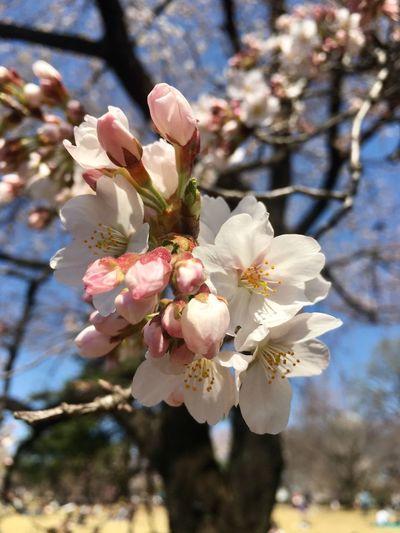 Cherry Blossoms Flowers Spring Springtime Shinjuku Gyoen National Garden March 2018