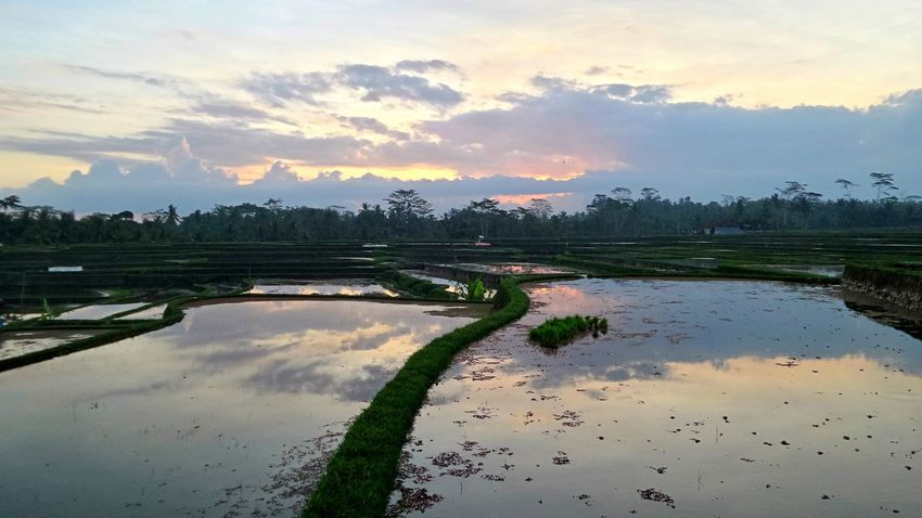 Payangan Bali Bali Natura Bali, Indonesia Balispirit Beauty In Nature Islandlife Jeanmart Joseph Jeanmart Landscape Natura Nature Pure Real Real Life Reflection Rice Field Sky Sunset Tourism Tourisme Tranquil Scene Tranquility Water The Great Outdoors - 2016 EyeEm Awards