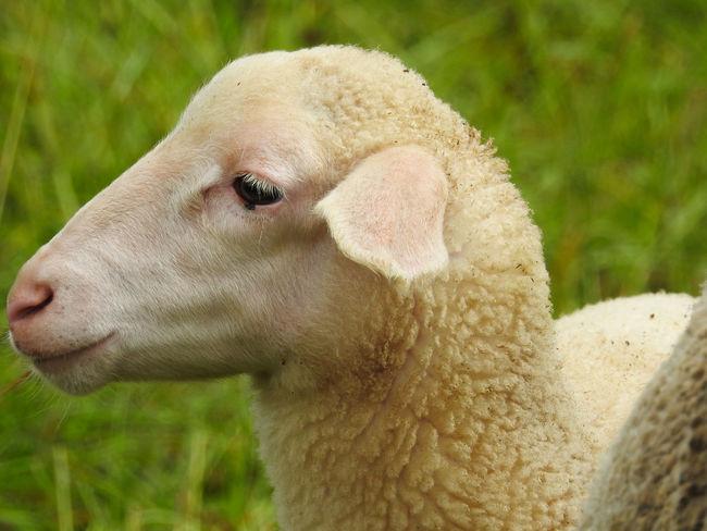 sheep head from the side Animal Grass Headshot Lamb Livestock Mammal Nature Outdoors Shear Sheep Snout Wool Young Animal
