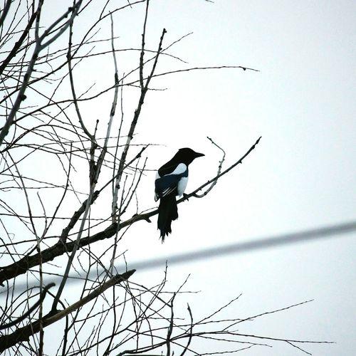 Bird сорока ветви
