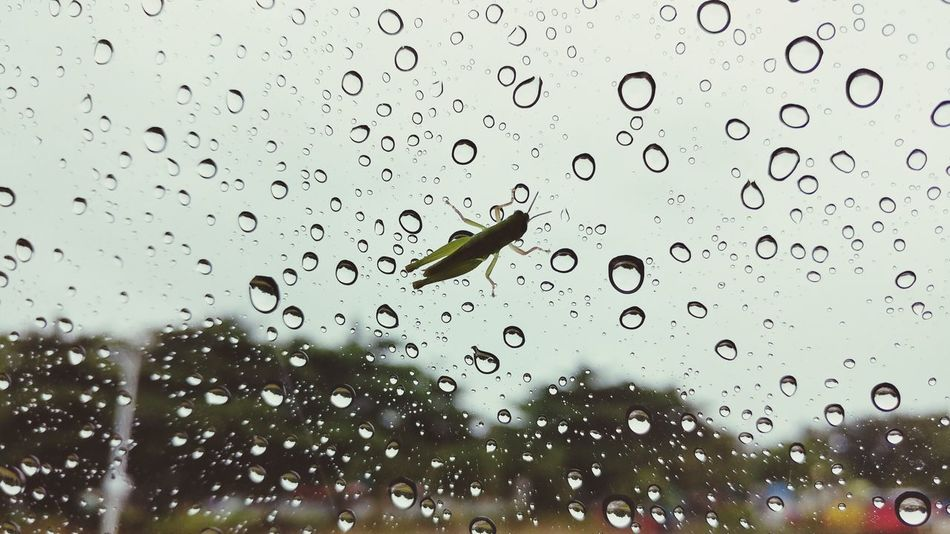 Taking shelter No People Raindrops Rainy Days Rural Scene Silhouette Window Water Waterdrops Insect Glass Windows Grasshopper Nature Naturelover Drop Water Wet Backgrounds Window RainDrop
