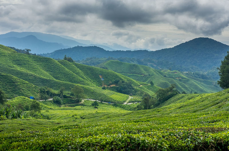 A tea plantation with a mountain backdrop in Cameron Highlands, Pahang, Malaysia Cameron Highlands Agriculture Beauty In Nature Cloud - Sky Day Farm Field Green Color Growth Landscape Mountain Mountain Range Nature No People Outdoors Plant Rural Scene Scenics Sky Tea Crop Tea Plantation  Tea Plantations Terraced Field Tranquil Scene Tranquility