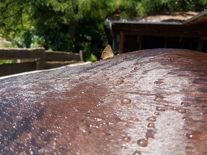 butterfly Morgan Horse Sweet Summer Water Raindrops Horses Horse Life Water Close-up Insect Butterfly