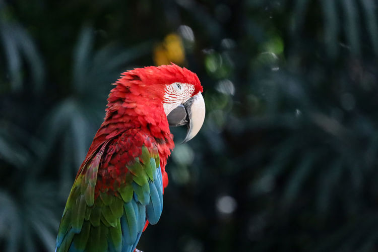 Close up haed the red macaw parrot bird in forest