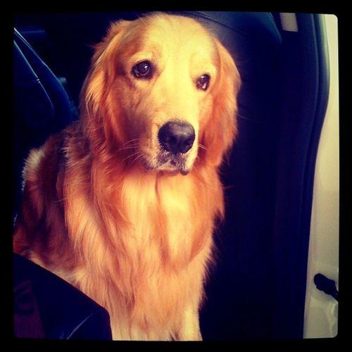อยากไปด้วยอ่ะ Goldenretriever Hoykong Dog