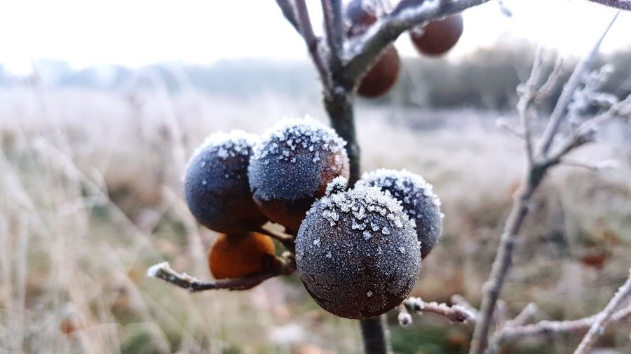 frosty Dryed Plants Dry Leaves Winter Wintertime Focus On Foreground Focus Beauty In Nature Branch Beautiful Nature EyeEm Scenics View EyeEm Best Shots Calmness Calmness Of Nature Minimalism colour of life Silence Is Golden Live Authentic Live Moments Simple Photography Liveauthentic Moment Of Silence EyeEm Selects Flower Tree Winter Snow Fruit Cold Temperature Rural Scene Agriculture Close-up Growing Agricultural Field Field