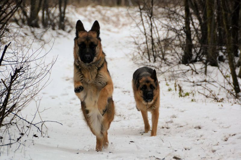 Portrait of german shepherds on snow covered field during winter
