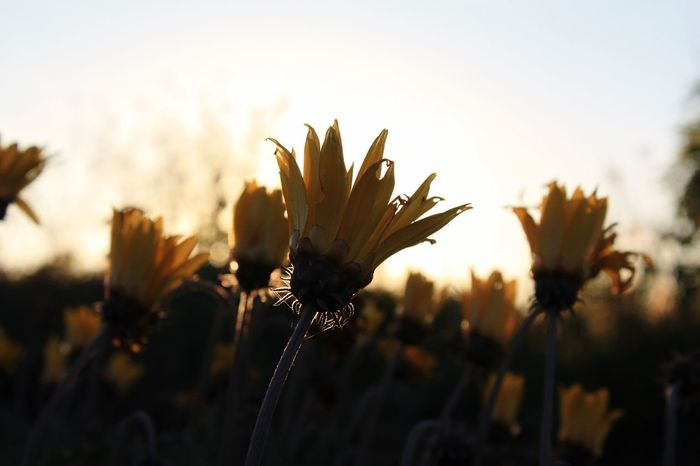 Santo Domingo, Chile Plant Nature Sunset Beauty In Nature Flower Field Sky Back Lit Growth Focus On Foreground Close-up Stem Scenics Tranquility Outdoors Tranquil Scene Growing Freshness Botany Springtime