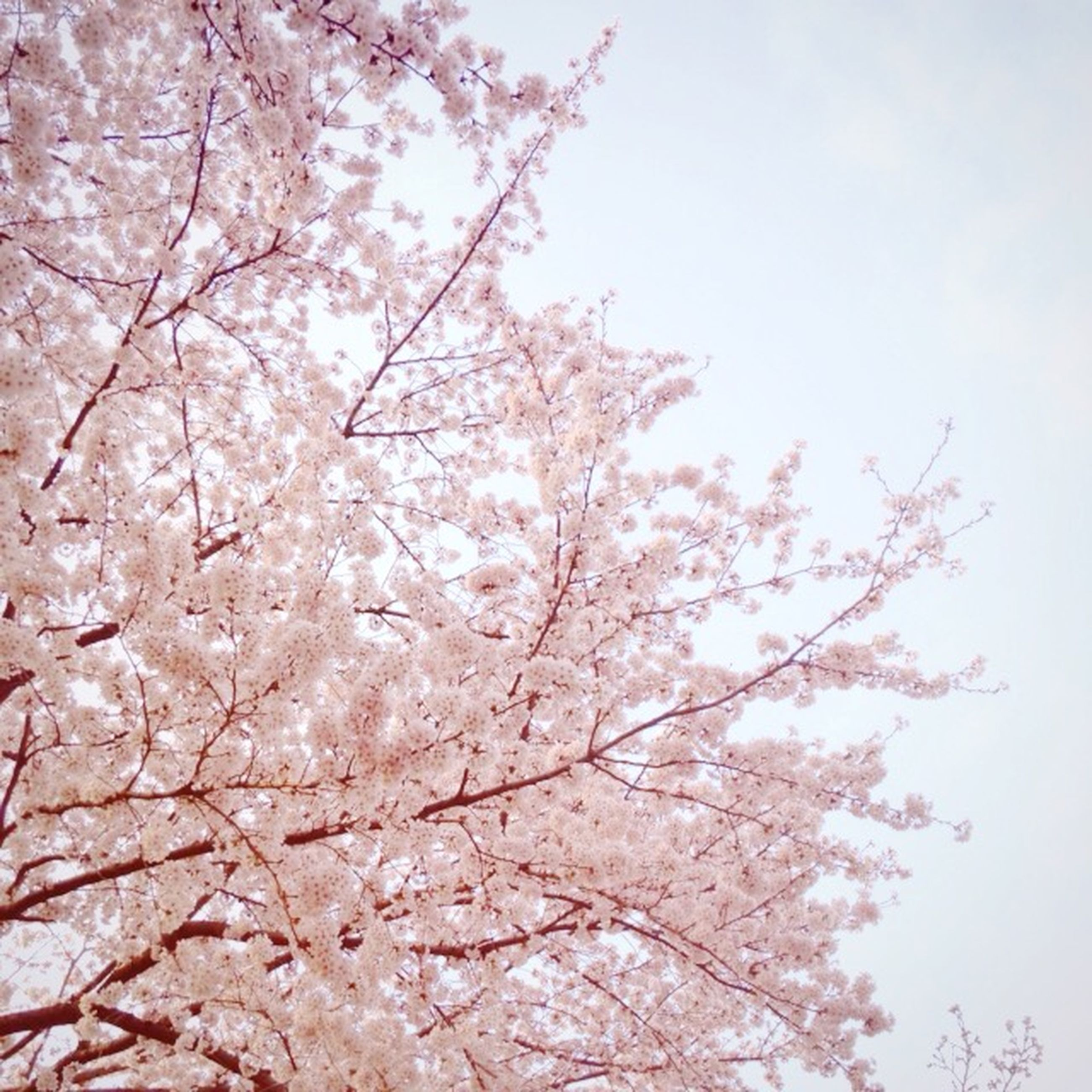 flower, tree, branch, freshness, low angle view, growth, beauty in nature, cherry blossom, blossom, fragility, nature, cherry tree, pink color, springtime, sky, in bloom, blooming, clear sky, day, fruit tree