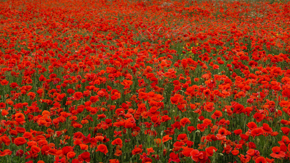 British Legion Flanders WW2 Memorial Abundance Backgrounds Beauty In Nature Day Field Flanders Poppy Flower Flower Head Flowerbed Flowering Plant Fragility Freshness Full Frame Gardening Growth Land Nature No People Outdoors Plant Poppy Red Remberance Day Remeberance Springtime Tranquility Vibrant Color Vulnerability  Ww1 Ww1 Memorial Ww2