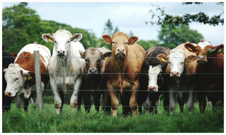 Domestic Animals Livestock Mammal Outdoors Standing No People Farm Kirriemuir Countryside Sky Fence Inquisitive Animals Cows Milk Dairyfarming