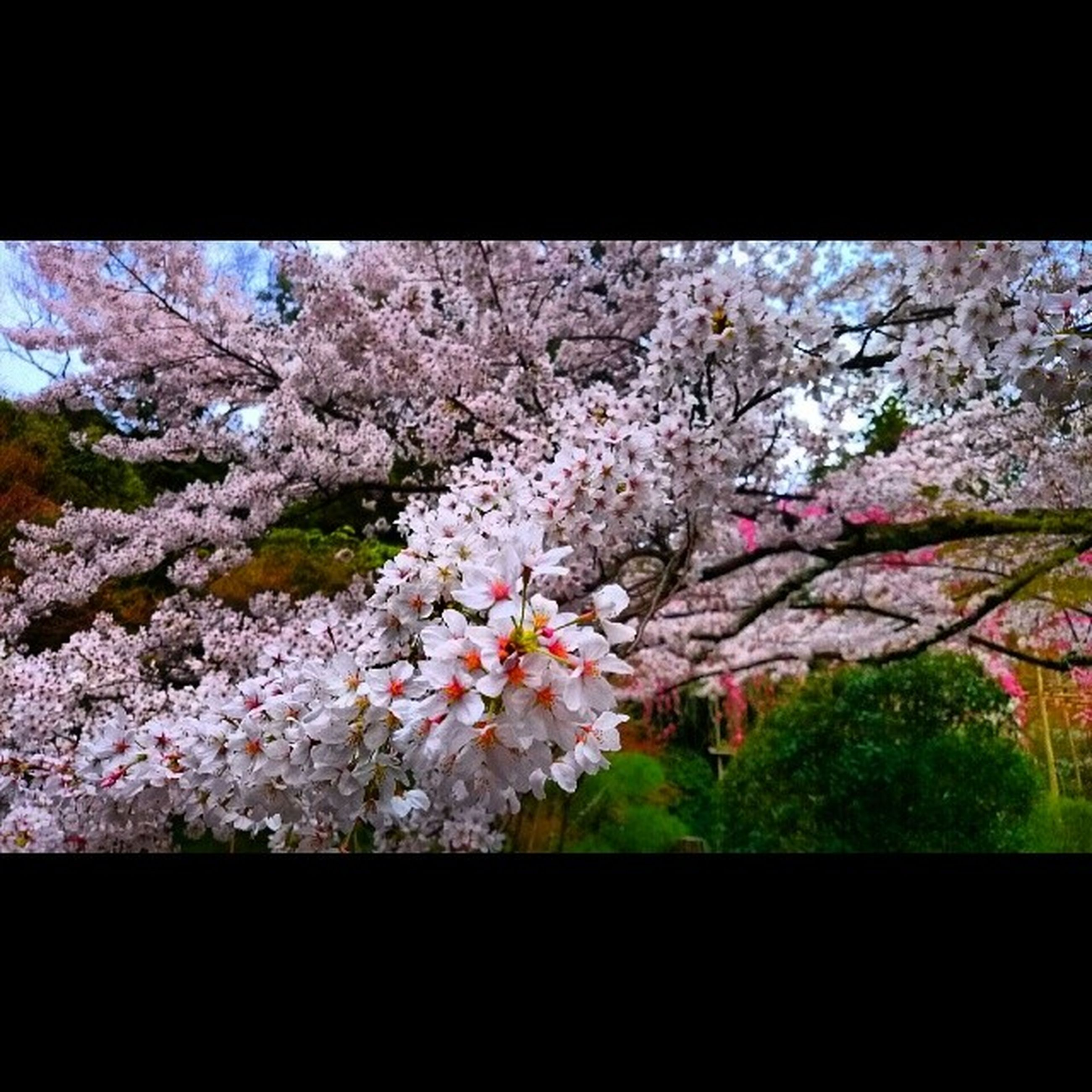 flower, freshness, fragility, tree, growth, beauty in nature, blossom, branch, cherry blossom, nature, cherry tree, in bloom, blooming, springtime, petal, pink color, botany, white color, day, season