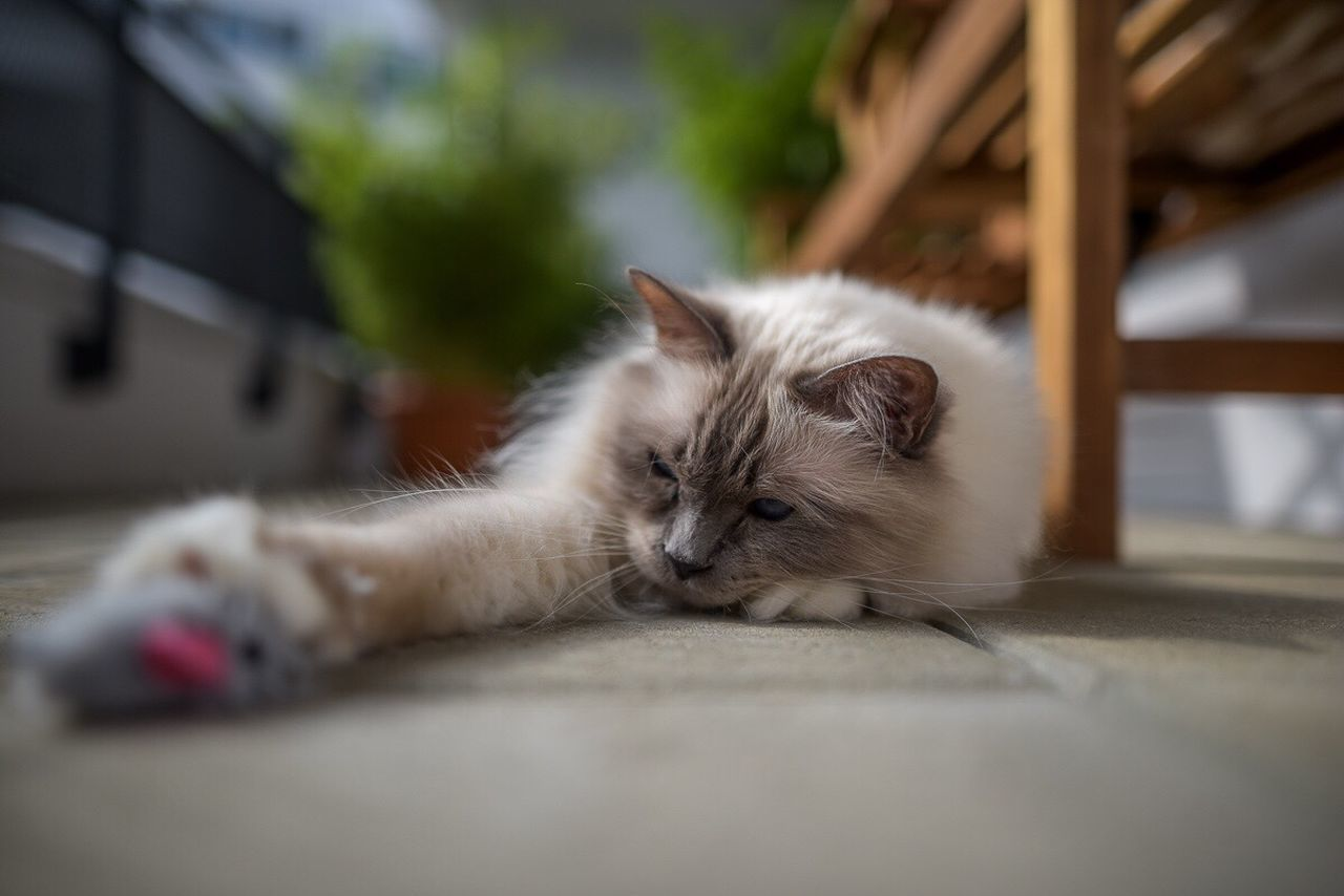 domestic cat, feline, pets, domestic animals, selective focus, animal themes, lying down, mammal, eyes closed, one animal, resting, sleeping, relaxation, no people, whisker, day, indoors, portrait, close-up, persian cat