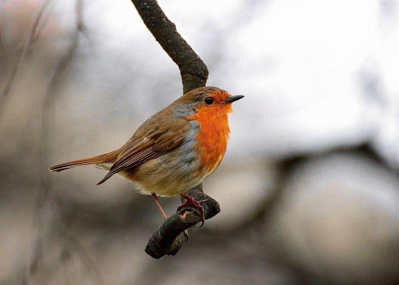 Rotkehlchen Robin Dublin , Ireland Ilikebirds Wintertime In The Country
