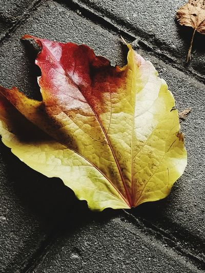 Herbst Maple