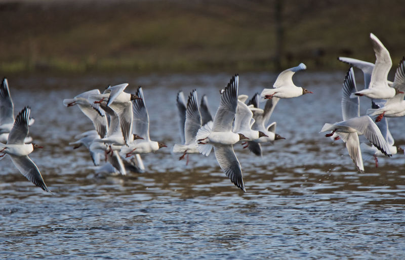 Birds in flight Black Headed Gulls Animal Themes Animal Wildlife Animals In The Wild Beauty In Nature Bird Black Headed Gull Day Flock Of Birds Flying Flying Above The Waterline Flying Birds Lake Large Group Of Animals Nature No People Outdoors Spread Wings Togetherness Water