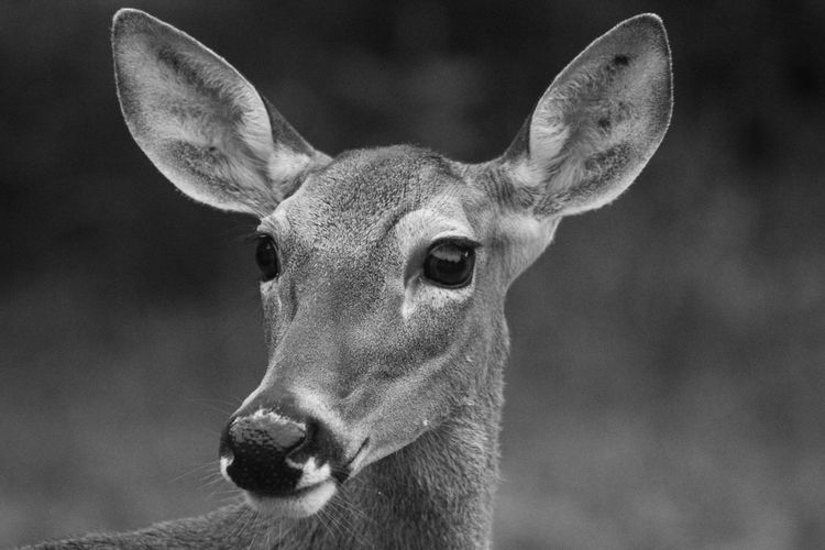 Doe looks toward sound and listens Animal Themes One Animal Mammal Animals In The Wild Animal Wildlife Focus On Foreground Animal Deer Close-up Vertebrate No People Animal Body Part Portrait Herbivorous Animal Head  Day Land Nature Animal Ear Animal Eye Deer Doe Eyes Doe In The Wild Deer Sighting Black And White Black And White Photography Nature Nature Photography