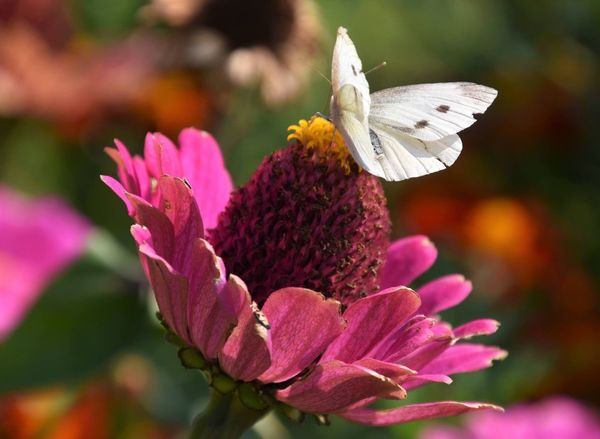 Flower Fragility Beauty In Nature Growth Petal Focus On Foreground Nature Flower Head Freshness Plant No People Outdoors Close-up One Animal Day Blooming Insect Pink Color Animal Themes Animals In The Wild Overijssel Nederland EyeEm Nature Lover Eye Em Nature Lover Fall Colors