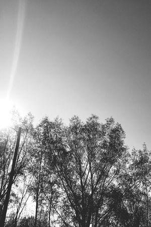 Tree Low Angle View Growth Sky Nature Beauty In Nature No People Tranquility Outdoors Day Clear Sky Treetop Blackandwhite