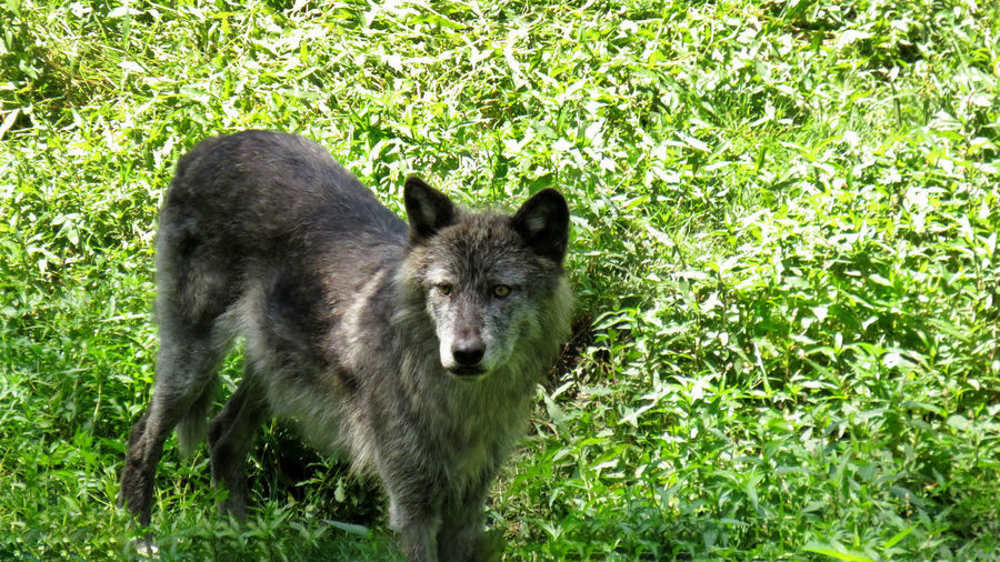 A grey wolf standing in the grass on the look out Black Wolf Grey Wolf Mammal One Animal Animal Wildlife Animals In The Wild Plant Nature No People Wolf Day Vertebrate Grass Land Outdoors Green Color Forest Standing Full Length