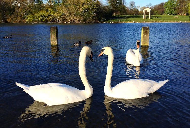 Lake Love Water Swan Chilling