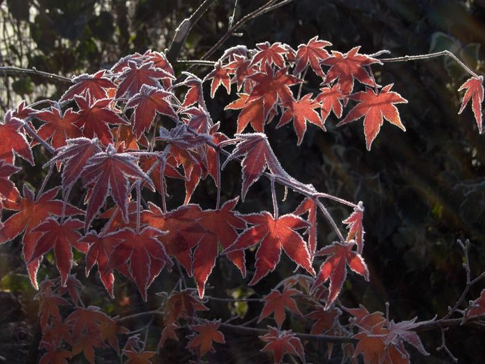 Frost on Acer