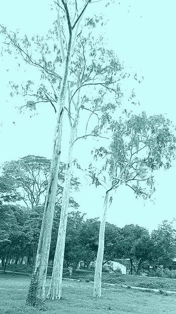 The beau,_tree